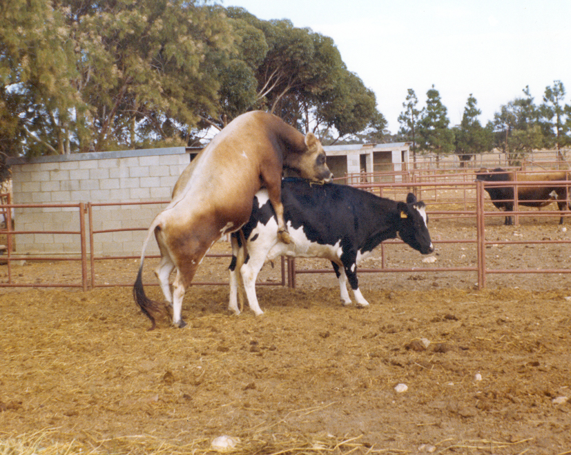 How to minimize and treat waterbelly in cattle